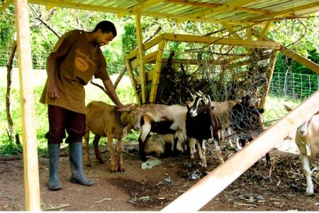 belmont_goats_1