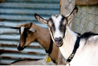 belmont_goats_2
