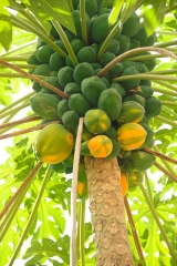 grenada_papaya
